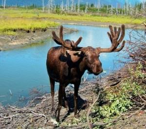 Moose fresco